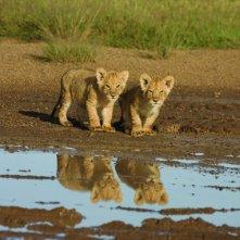 Una immagine dei cuccioli di leone dal documentario  African Cats - Il regno del coraggio