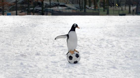 Uno Dei Pinguini Di Mr Popper Alle Prese Con Un Pallone Da Calcio 210965