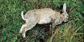 Un coniglio morto nella brughiera in un'immagine metaforica di Wuthering Heights