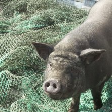 Il porcellino di Un insolito naufrago nell'inquieto mare d'Oriente