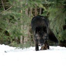 The Grey: uno dei lupi famelici che da la caccia ai protagonisti del film sopravvissuti ad un incidente aereo
