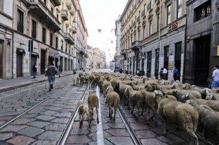 L'ultimo pastore: il gregge di pecore di Renato Zucchelli per le strade di Milano