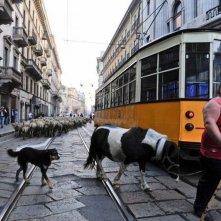 L'ultimo pastore: Renato Zucchelli guida il suo gregge per le strade di Milano
