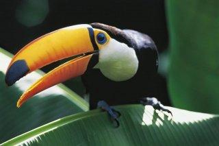 Amazonia: un tucano in una vivida immagine tratta dal film