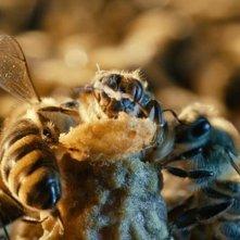Un mondo in pericolo: una scena tratta dal film sulle api