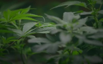 Trailer - Evergreen: The Road to Legalization in Washington