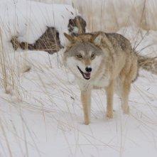 L'ultimo lupo: il lupo tra la neve in una scena del film