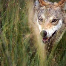 L'ultimo lupo: il lupo protagonista del film in una scena