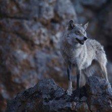 L'ultimo lupo: un'immagine tratta dal film di Jean-Jaques Annaud