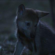 L'ultimo lupo: il cucciolo di lupo protagonista del film in una scena