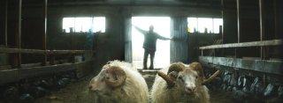 Rams - Storia di due fratelli e otto pecore: un'immagine del film di Grímur Hákonarson