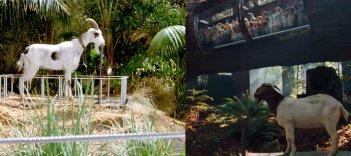 Jurassic Park e Jurassic World a confronto: la capretta