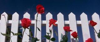 Velluto blu: la scena di apertura del film di David Lynch